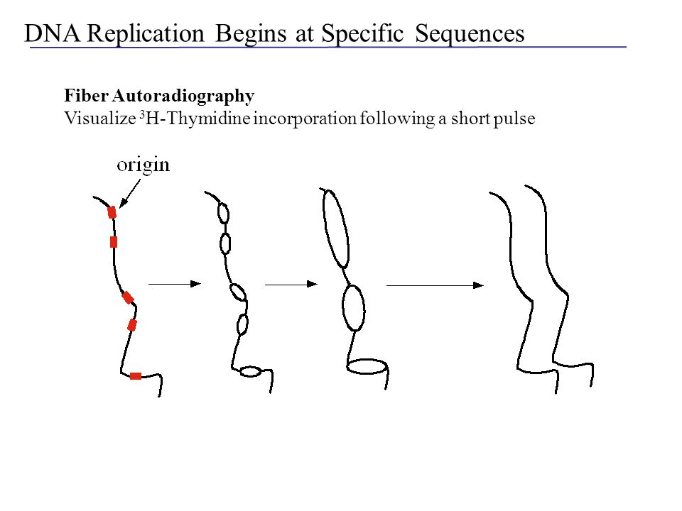 QUESTIONS 5.What determines the temporal order of replication during S-phase.
