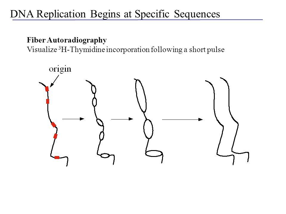 origin Isolation of Autonomously Replicating Sequences Restriction digest of yeast chromosomal DNA Shotgun clone into a URA3 origin-less plasmid Select for URA+ cells Transform into ura3 yeast