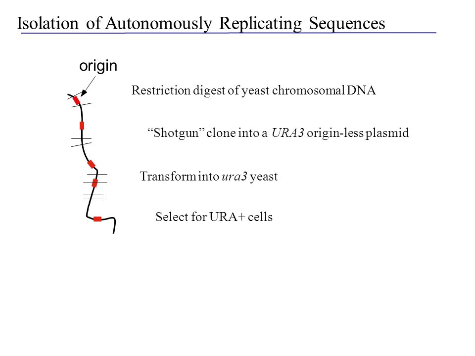 "origin Isolation of Autonomously Replicating Sequences Restriction digest of yeast chromosomal DNA ""Shotgun"" clone into a URA3 origin-less plasmid Sel"