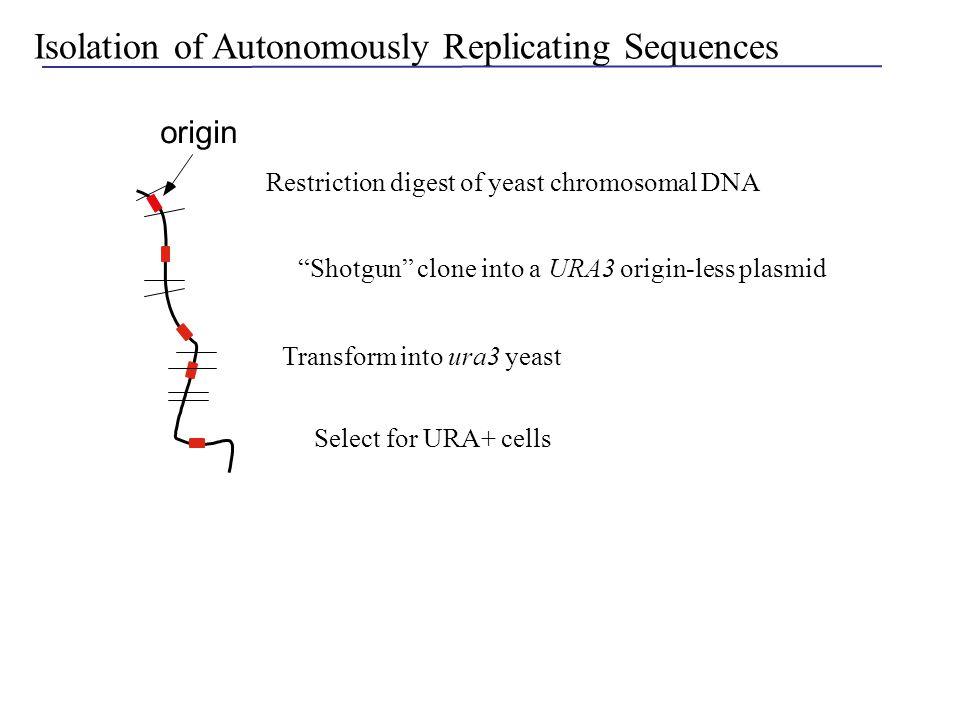 Isolation of Autonomously Replicating Sequences EcoRI URA3 URA+
