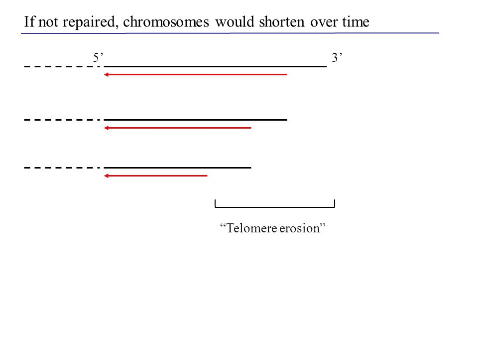 "5'3' If not repaired, chromosomes would shorten over time ""Telomere erosion"""