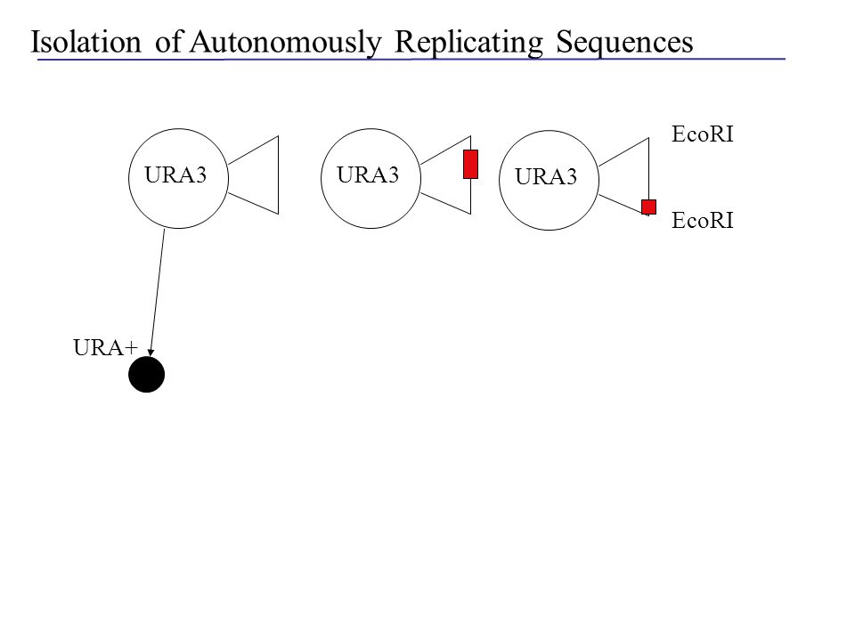 Isolation of Autonomously Replicating Sequences EcoRI URA3 URA+