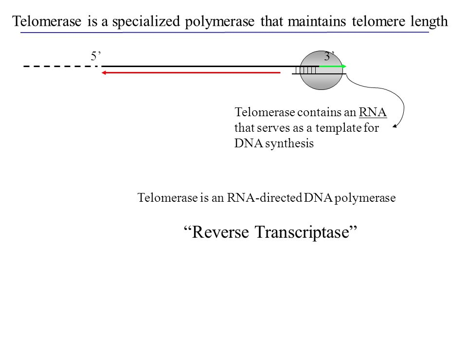 5'3' Telomerase is a specialized polymerase that maintains telomere length Telomerase contains an RNA that serves as a template for DNA synthesis Telo