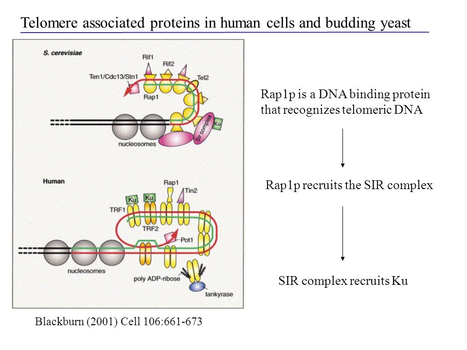 Telomere associated proteins in human cells and budding yeast Rap1p is a DNA binding protein that recognizes telomeric DNA Rap1p recruits the SIR comp