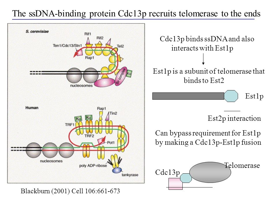 The ssDNA-binding protein Cdc13p recruits telomerase to the ends Cdc13p binds ssDNA and also interacts with Est1p Est1p is a subunit of telomerase tha