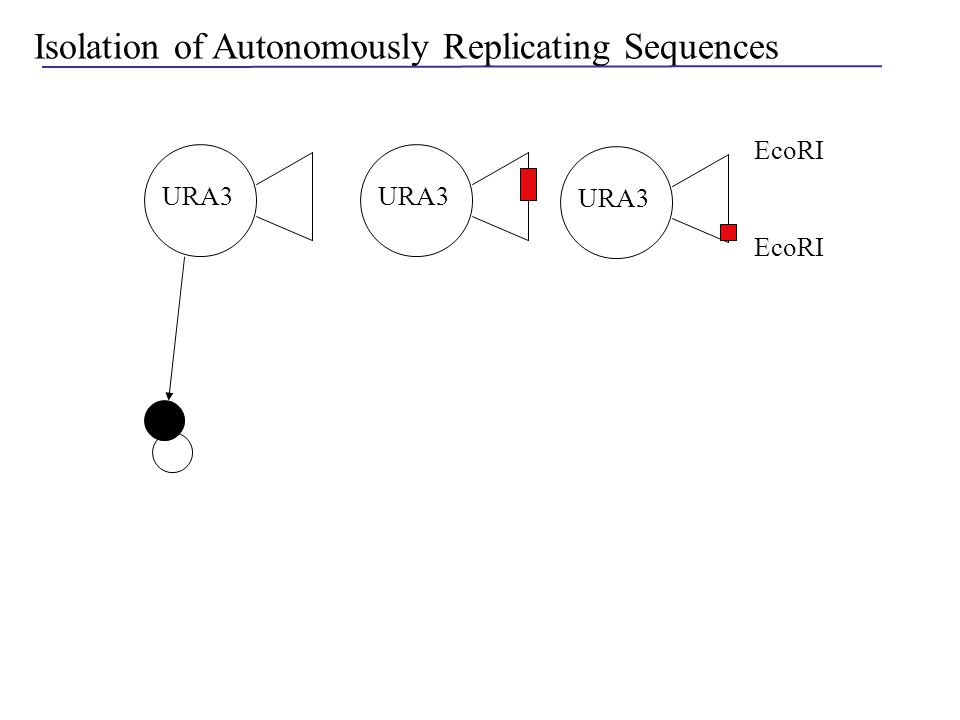 Isolation of Autonomously Replicating Sequences EcoRI URA3