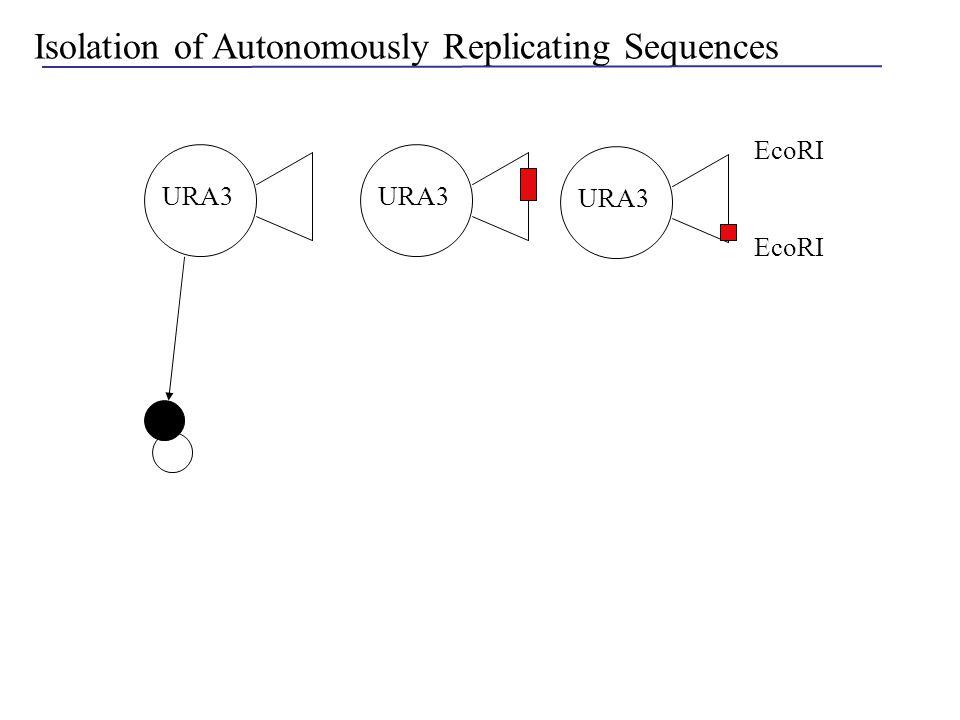Isolation of Autonomously Replicating Sequences EcoRI URA3 Ura-
