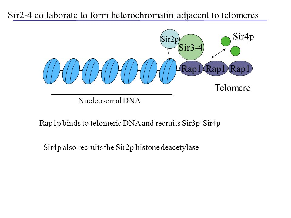 Sir2-4 collaborate to form heterochromatin adjacent to telomeres Rap1 Sir3-4 Telomere Rap1 Sir4p Nucleosomal DNA Sir2p Sir4p also recruits the Sir2p h