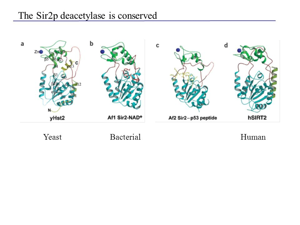 The Sir2p deacetylase is conserved YeastBacterialHuman
