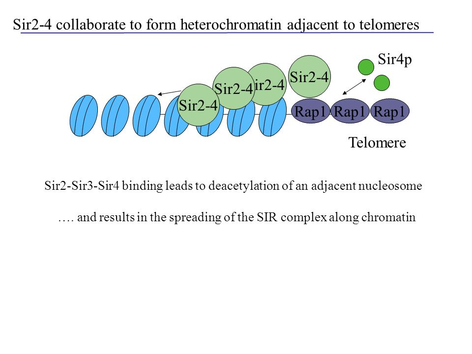 Sir2-4 collaborate to form heterochromatin adjacent to telomeres Rap1 Sir2-4 Telomere Rap1 Sir4p Sir2-Sir3-Sir4 binding leads to deacetylation of an a