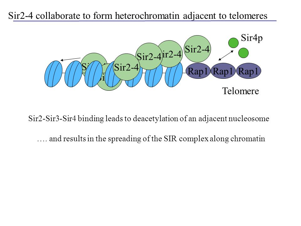 Sir2-4 Sir2-4 collaborate to form heterochromatin adjacent to telomeres Rap1 Sir2-4 Telomere Rap1 Sir4p Sir2-Sir3-Sir4 binding leads to deacetylation
