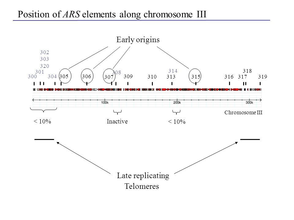 300 301 302 303 320 304305306 307 308 309 310313 315 316317319 314 318 Chromosome III Position of ARS elements along chromosome III < 10% Inactive Lat