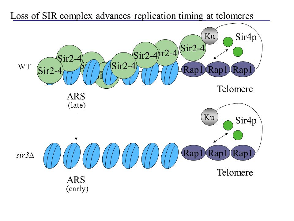 Sir2-4 Rap1 Sir2-4 Telomere Rap1 Sir4p ARS Loss of SIR complex advances replication timing at telomeres Ku Rap1 Telomere Rap1 Sir4p ARS (late) (early)