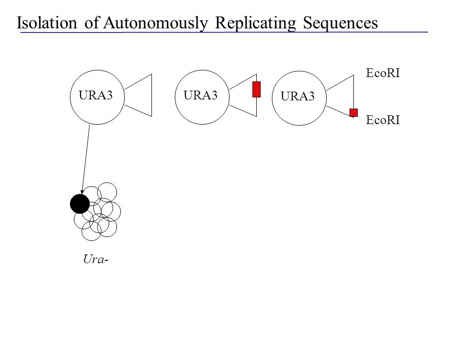 Isolation of Autonomously Replicating Sequences EcoRI URA3 -URA plate URA+