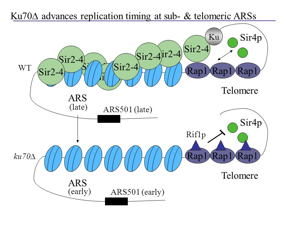 Sir2-4 Rap1 Sir2-4 Telomere Rap1 Sir4p ARS Ku Rap1 Telomere Rap1 Sir4p ARS (late) ku70∆ (early) Ku70∆ advances replication timing at sub- & telomeric