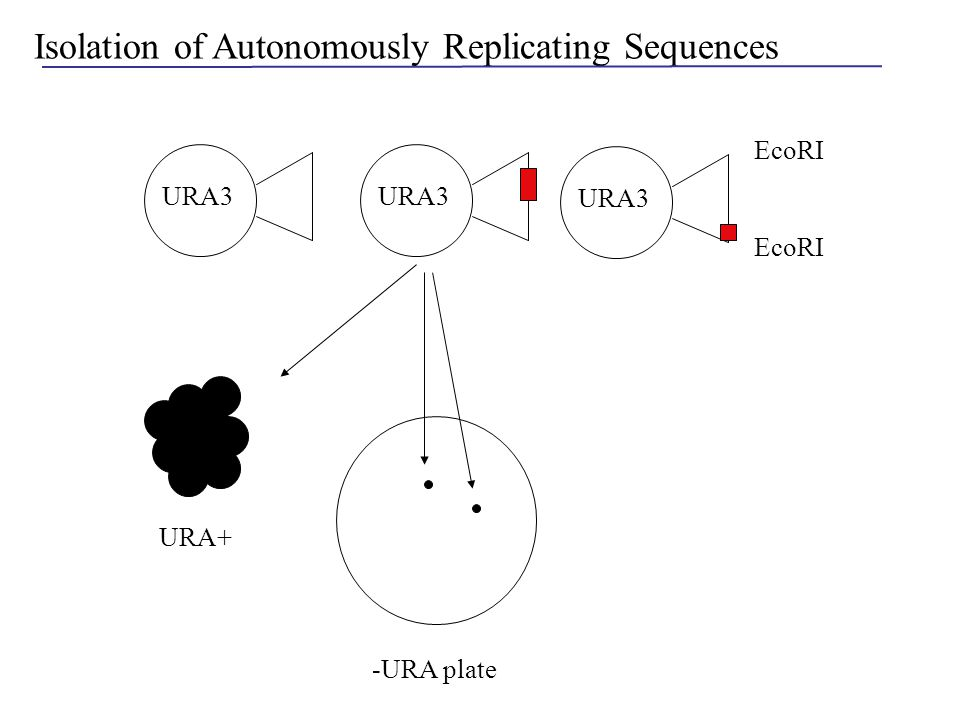 Isolation of Autonomously Replicating Sequences EcoRI URA3 -URA plate URA+