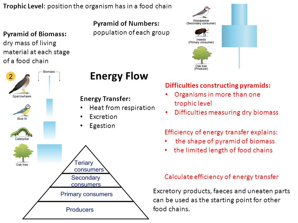 Energy Flow Trophic Level: position the organism has in a food chain Pyramid of Biomass: dry mass of living material at each stage of a food chain Pyramid of Numbers: population of each group Energy Transfer: Heat from respiration Excretion Egestion Difficulties constructing pyramids: Organisms in more than one trophic level Difficulties measuring dry biomass Efficiency of energy transfer explains: the shape of pyramid of biomass the limited length of food chains Calculate efficiency of energy transfer Excretory products, faeces and uneaten parts can be used as the starting point for other food chains.