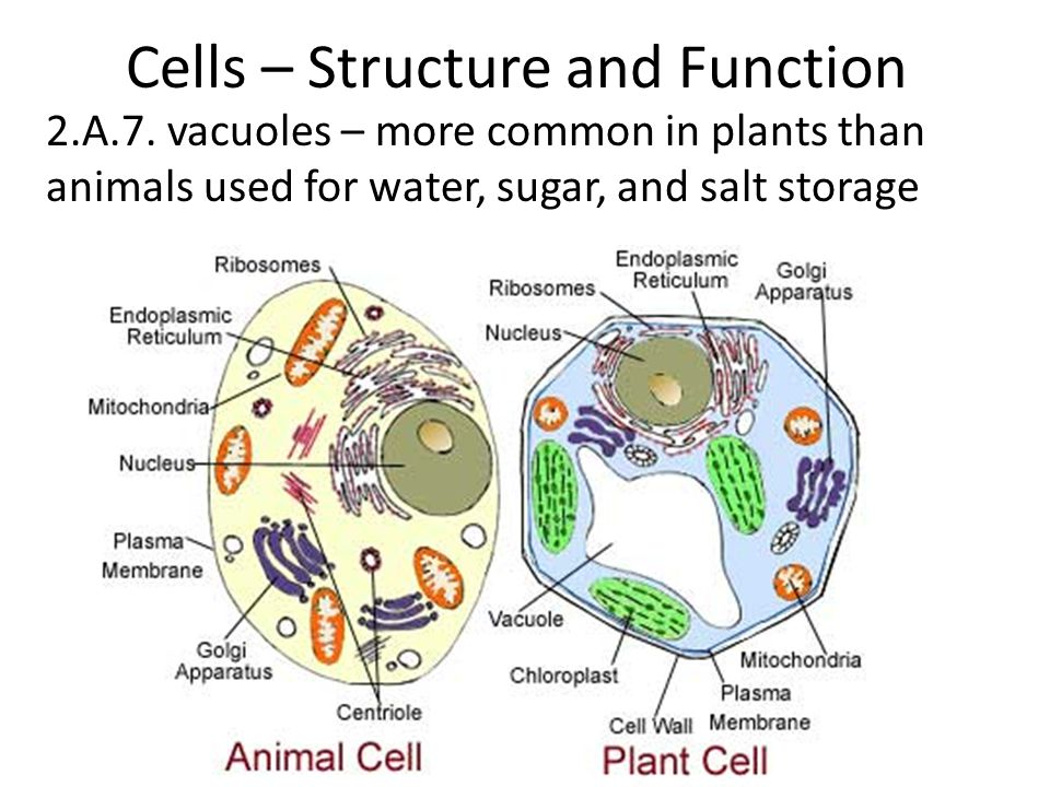 Cells – Structure and Function 2.A.7.