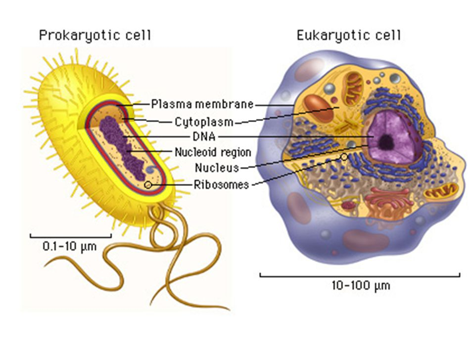 Cell Membrane – Sodium potassium pump: » The same carrier protein moves sodium ions (Na+) to the outside of cell and potassium ions (K+) to the inside of cell » Uses ATP to change shape of channel » Three sodium ions are carried outward for every two potassium ions carried inward causing the inside of the cell to be negatively charged compared to the outside.