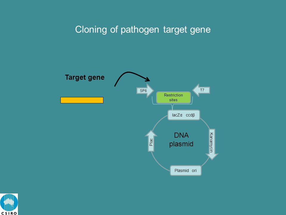 Cloning of pathogen target gene Target gene lacZα ccdβ Plasmid ori Kanamycin SP6 Plac Restriction sites T7 DNA plasmid