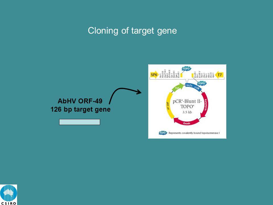 Cloning of target gene AbHV ORF-49 126 bp target gene