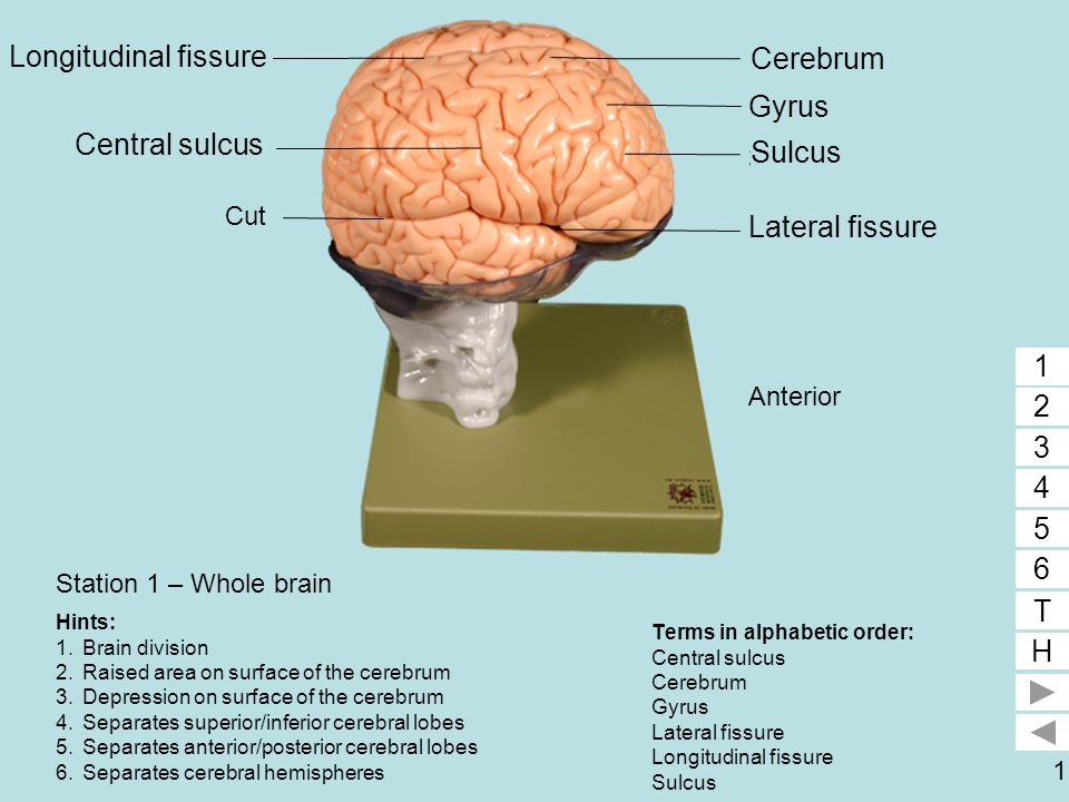 1 Station 1 – Whole brain Terms in alphabetic order: Central sulcus Cerebrum Gyrus Lateral fissure Longitudinal fissure Sulcus 1 2 3 4 5 6 T H 5 1 2 3