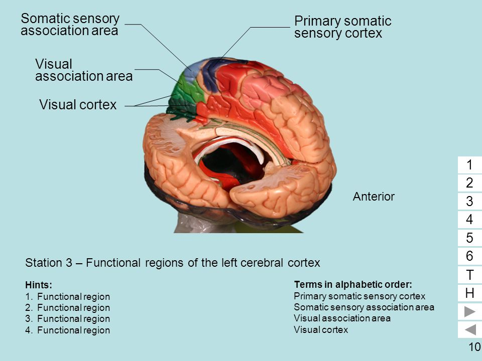 10 Station 3 – Functional regions of the left cerebral cortex Terms in alphabetic order: Primary somatic sensory cortex Somatic sensory association ar