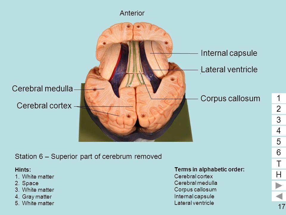 17 Station 6 – Superior part of cerebrum removed Terms in alphabetic order: Cerebral cortex Cerebral medulla Corpus callosum Internal capsule Lateral