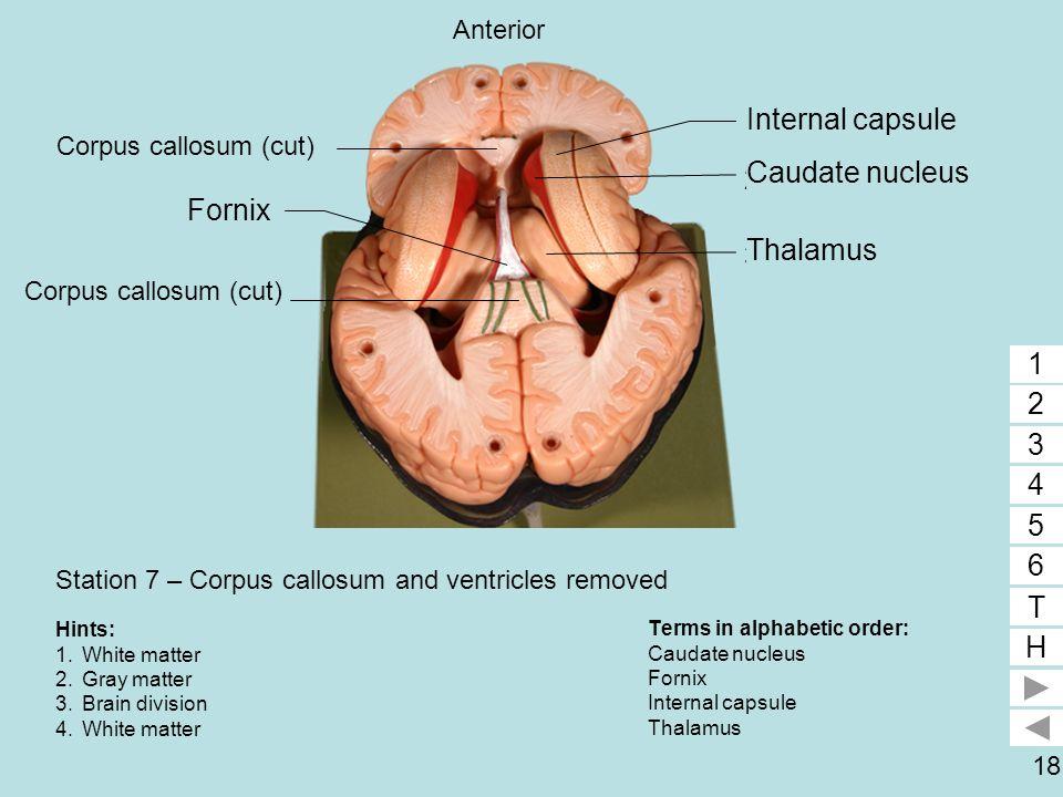 18 Station 7 – Corpus callosum and ventricles removed Terms in alphabetic order: Caudate nucleus Fornix Internal capsule Thalamus 1 2 3 4 5 6 T H 1 2
