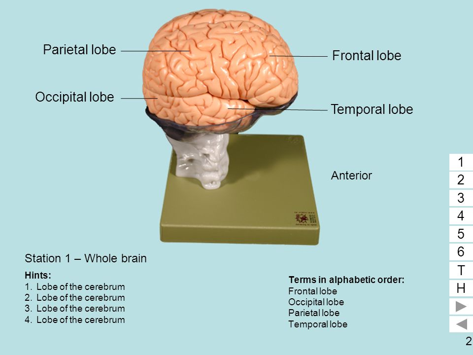 3 Station 2 – Part of right cerebral hemisphere removed Terms in alphabetic order: Corpus callosum Frontal lobe Insula Lateral ventricle Temporal lobe 1 2 3 4 5 6 T H 5 12 3 4 Hints: 1.Lobe of cerebrum 2.Lobe of cerebrum 3.Lobe of cerebrum 4.Space 5.White matter 6.Function of #5.