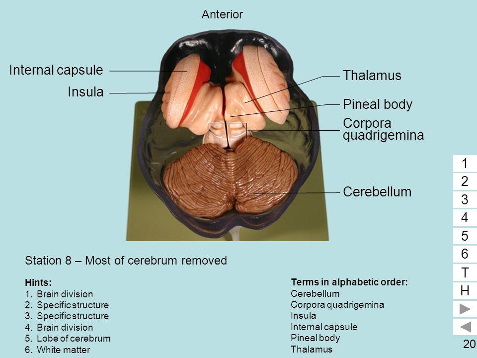 20 Station 8 – Most of cerebrum removed Terms in alphabetic order: Cerebellum Corpora quadrigemina Insula Internal capsule Pineal body Thalamus 1 2 3