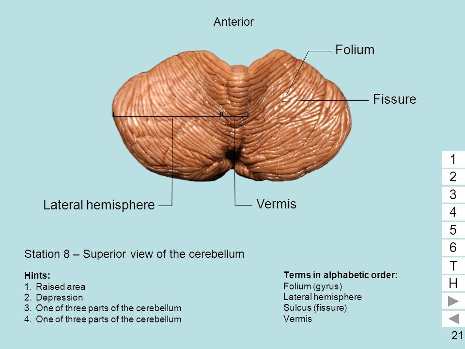 21 Station 8 – Superior view of the cerebellum Terms in alphabetic order: Folium (gyrus) Lateral hemisphere Sulcus (fissure) Vermis 1 2 3 4 5 6 T H 1