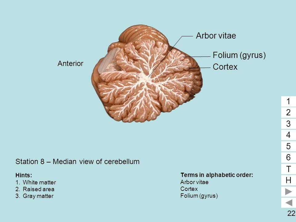 22 Station 8 – Median view of cerebellum Terms in alphabetic order: Arbor vitae Cortex Folium (gyrus) 1 2 3 4 5 6 T H 1 2 3 Hints: 1.White matter 2.Ra