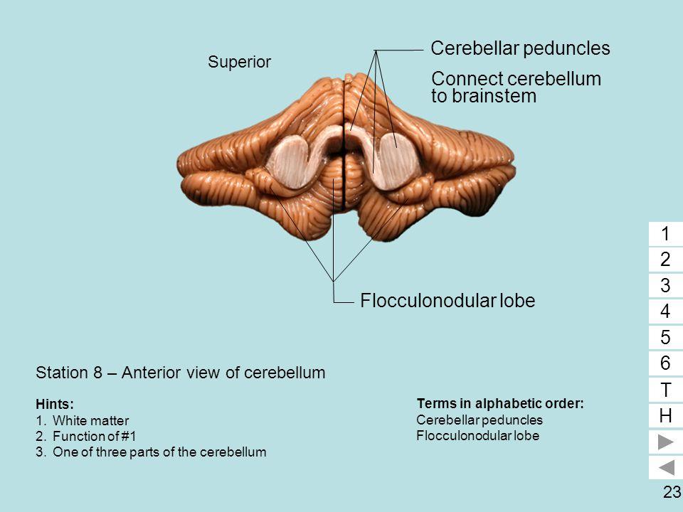 23 Station 8 – Anterior view of cerebellum Terms in alphabetic order: Cerebellar peduncles Flocculonodular lobe 1 2 3 4 5 6 T H 1 3 Hints: 1.White mat