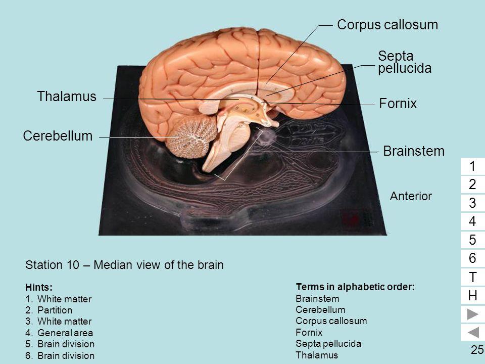 25 Station 10 – Median view of the brain Terms in alphabetic order: Brainstem Cerebellum Corpus callosum Fornix Septa pellucida Thalamus 1 2 3 4 5 6 T