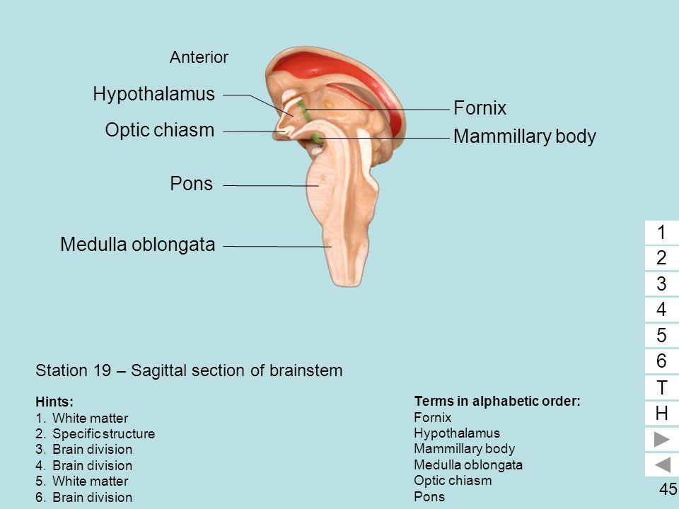 45 Station 19 – Sagittal section of brainstem Terms in alphabetic order: Fornix Hypothalamus Mammillary body Medulla oblongata Optic chiasm Pons 1 2 3