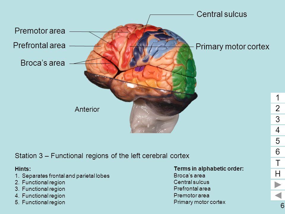 6 Station 3 – Functional regions of the left cerebral cortex Terms in alphabetic order: Broca's area Central sulcus Prefrontal area Premotor area Prim