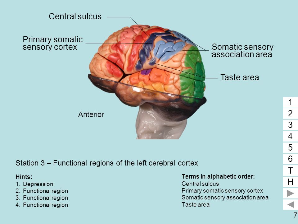 7 Station 3 – Functional regions of the left cerebral cortex Terms in alphabetic order: Central sulcus Primary somatic sensory cortex Somatic sensory