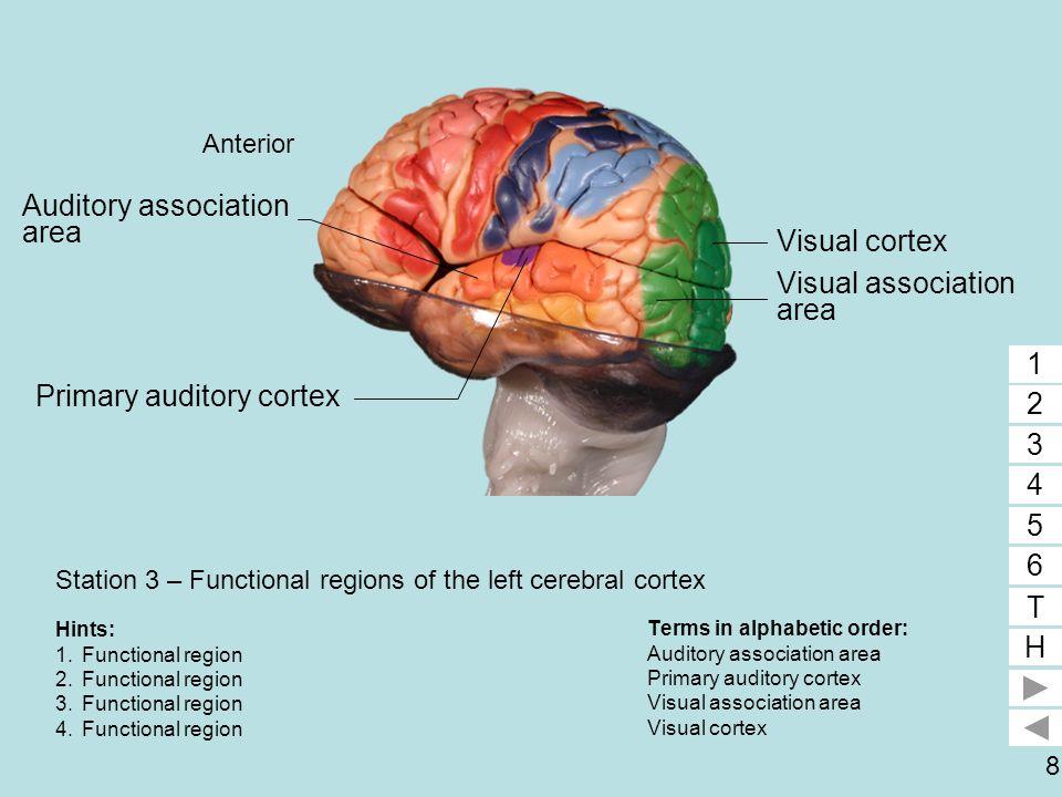 9 Station 3 – Functional regions of the left cerebral cortex Terms in alphabetic order: Prefrontal area Premotor area Primary motor cortex 1 2 3 4 5 6 T H 1 2 3 Hints: 1.Functional region 2.Functional region 3.Functional region Primary motor cortex Premotor area Prefrontal area Anterior