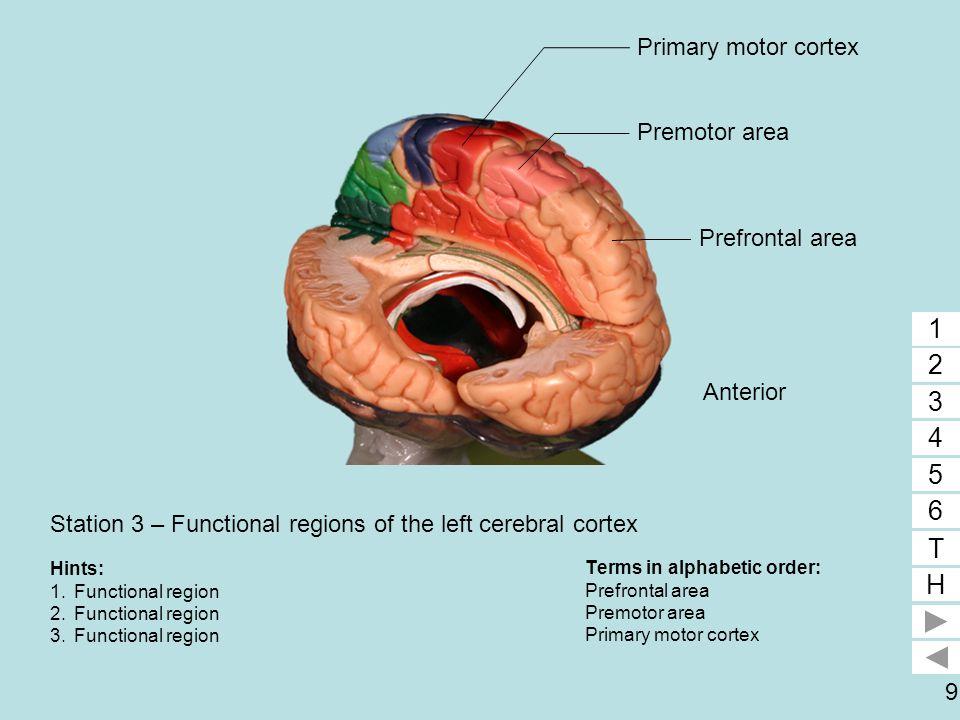 9 Station 3 – Functional regions of the left cerebral cortex Terms in alphabetic order: Prefrontal area Premotor area Primary motor cortex 1 2 3 4 5 6