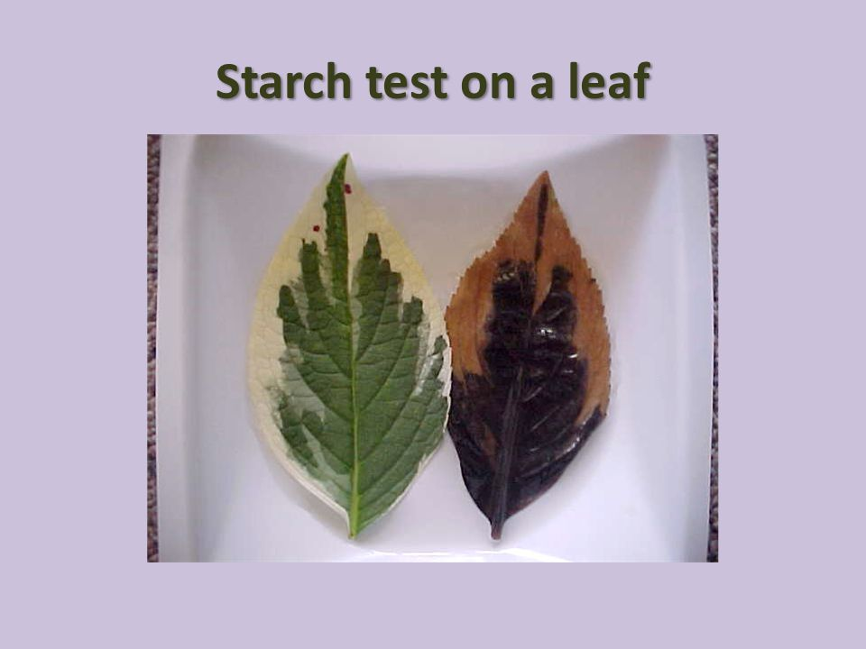 Starch test on a leaf