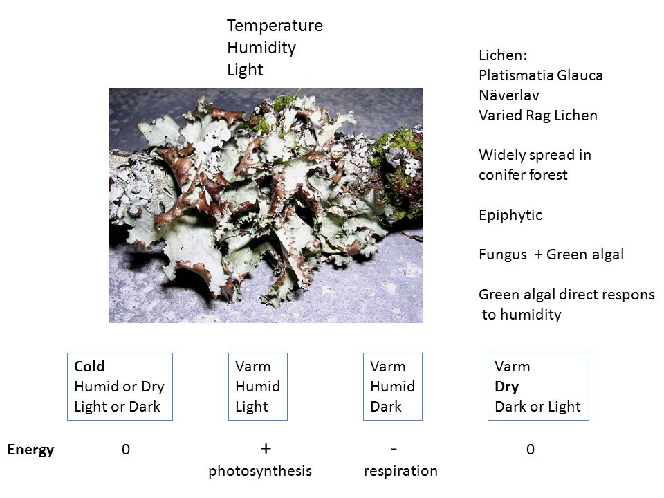 Temperature Humidity Light Lichen: Platismatia Glauca Näverlav Varied Rag Lichen Widely spread in conifer forest Epiphytic Fungus + Green algal Green algal direct respons to humidity Cold Humid or Dry Light or Dark Varm Humid Light Varm Humid Dark Varm Dry Dark or Light Energy 0 + - 0 photosynthesis respiration