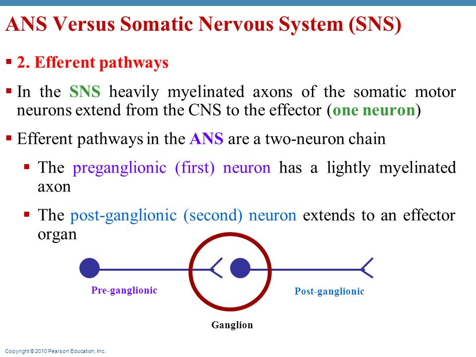 Copyright © 2010 Pearson Education, Inc. ANS Versus Somatic Nervous System (SNS)  2.
