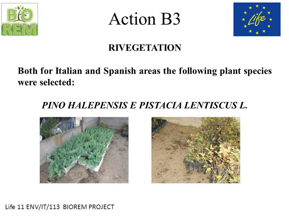 Life 11 ENV/IT/113 BIOREM PROJECT Action B3 RIVEGETATION Both for Italian and Spanish areas the following plant species were selected: PINO HALEPENSIS E PISTACIA LENTISCUS L.