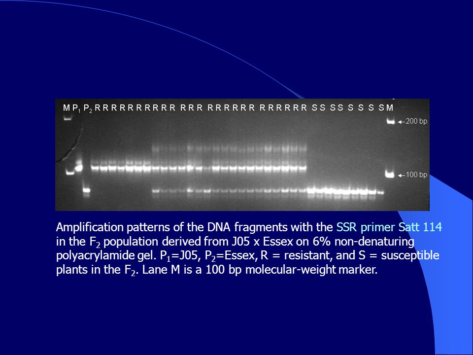 Amplification patterns of the DNA fragments with the SSR primer Satt 114 in the F 2 population derived from J05 x Essex on 6% non-denaturing polyacrylamide gel.