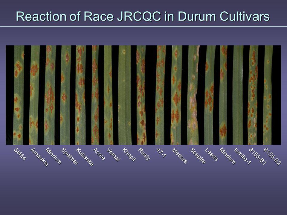 Reaction of Race JRCQC in Durum Cultivars 8155-B28155-B1Iumillo-1Mindum Leeds Sceptre Medora Rusty KhapliVernalKubanka47-1SpelmarMindumSt464AcmeArnaukta