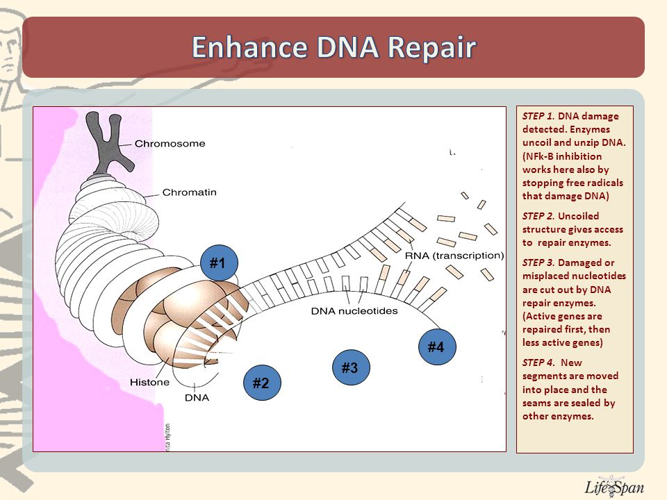 STEP 1. DNA damage detected. Enzymes uncoil and unzip DNA.