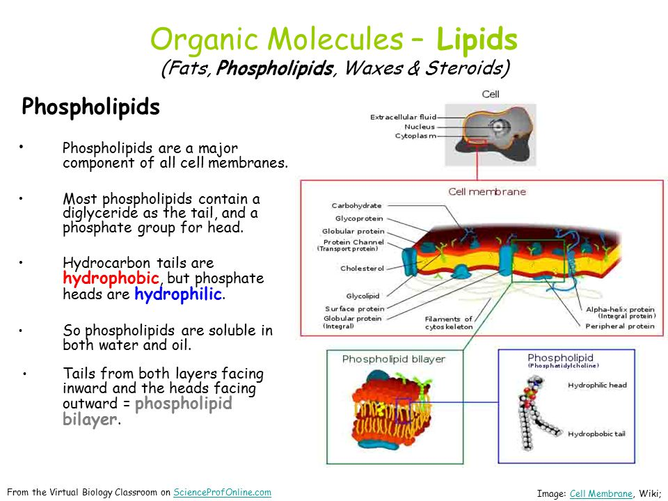 Organic Molecules – Lipids (Fats, Phospholipids, Waxes & Steroids) Phospholipids Phospholipids are a major component of all cell membranes.