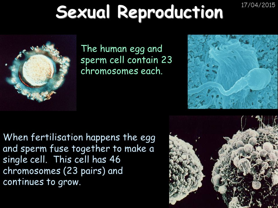 17/04/2015 Sexual Reproduction The human egg and sperm cell contain 23 chromosomes each. When fertilisation happens the egg and sperm fuse together to