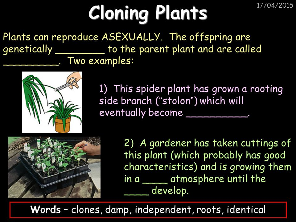 17/04/2015 Cloning Plants Plants can reproduce ASEXUALLY. The offspring are genetically ________ to the parent plant and are called _________. Two exa